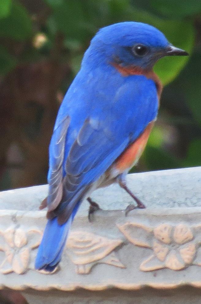 ea Immature BLUEBIRD 3-31-13_4245