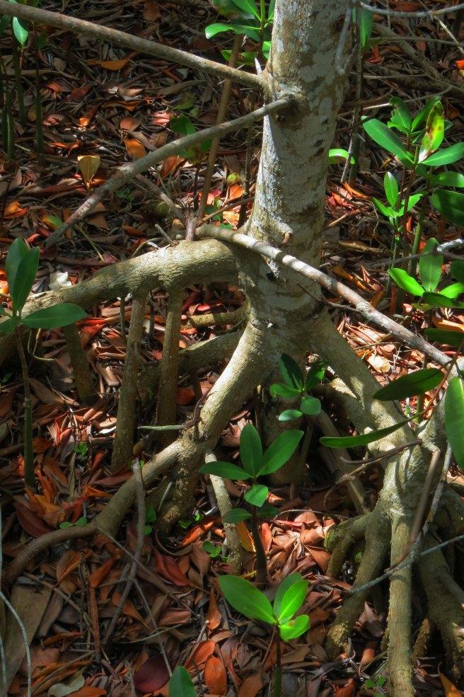 EF CALUSA MANGROVE TREE IMG_6339